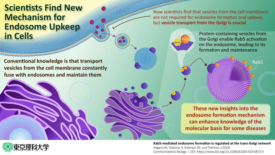 Scientists discover how the molecule-sorting station in our cells is formed and maintained