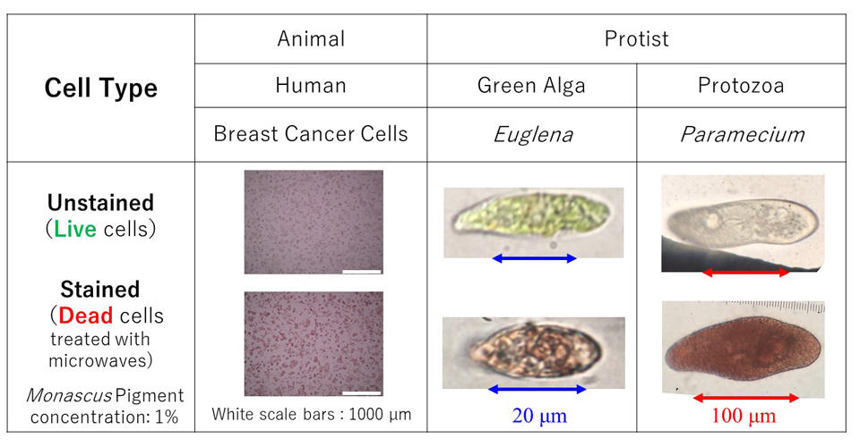 Lending Color to Dead Cells--A Novel Natural Dye for Screening Cell Viability